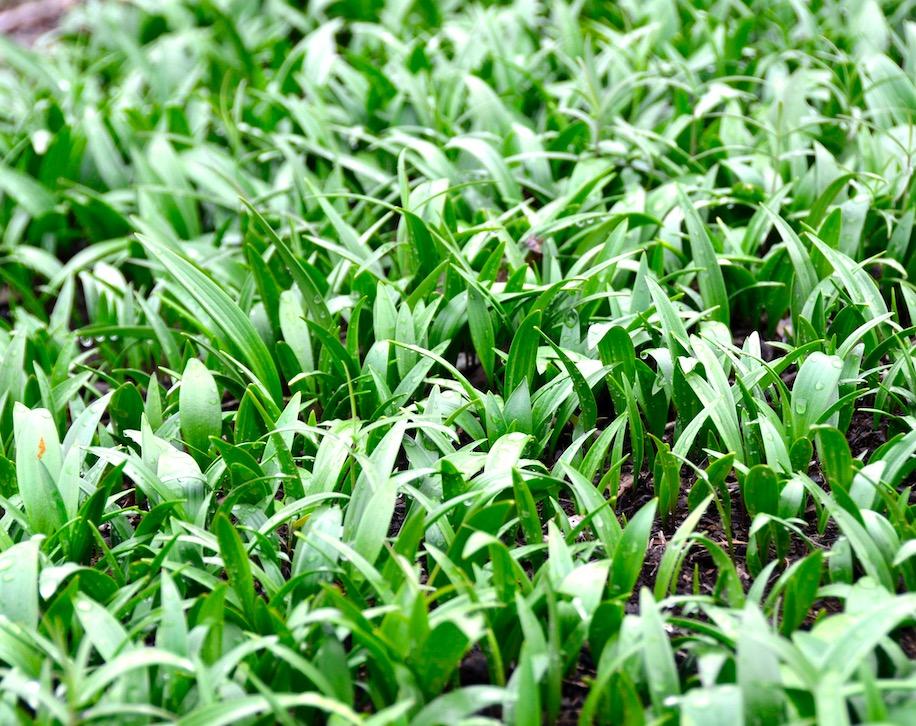 巫溪太白贝母种苗