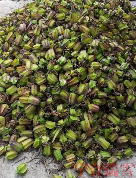 巫溪太白贝母果种