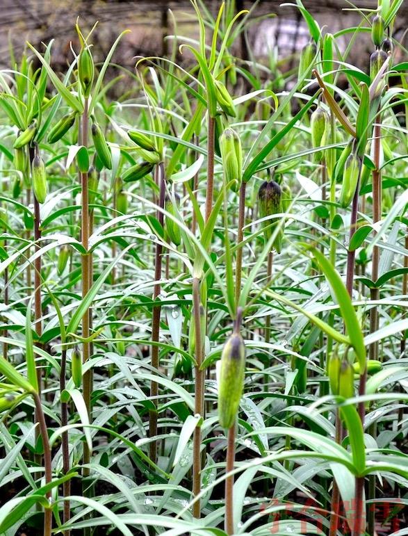 巫溪太白贝母种植